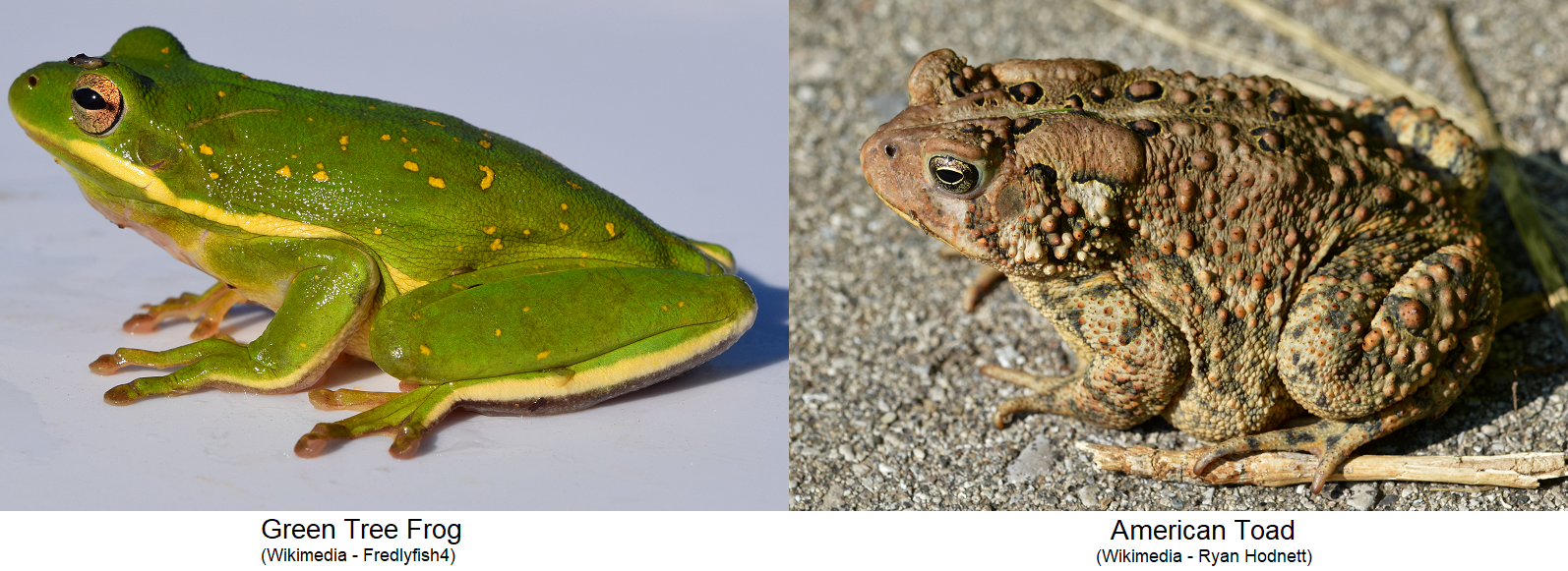 Learn About Frogs Toads And Their Habitat Awf